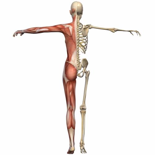 Order Myoskeletal Alignment