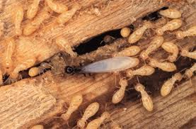 Order Termite Control