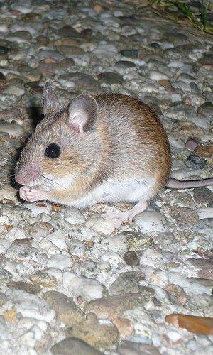 Order Mice Control