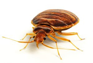 Order Bed Bug Exterminators in Long Island