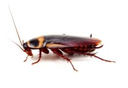 Order Cockroach Treatments & Extermination
