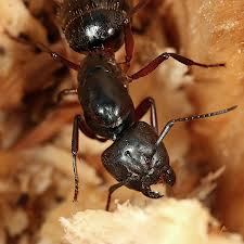 Order Carpenter Ants & Termites Extermination Services