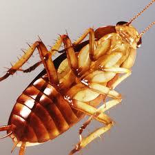 Order American Cockroach Exermination