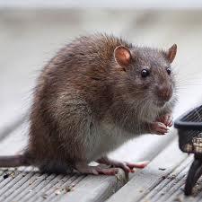 Order Rats Extermination