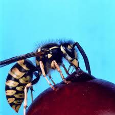 Order Wasps Extermination