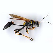 Order Wasp Control & Removal