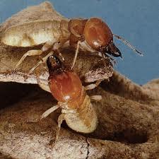 Order Termites Extermination