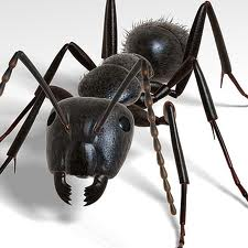 Order Carpenter Ant Treatment