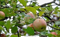 Peaches, Nectarines & Pears