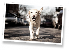 Downtown Pet's Dog Walking Service