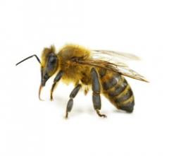 Africanized honey bees Control