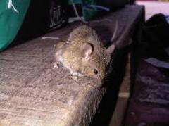 Mouse Infestations and Control