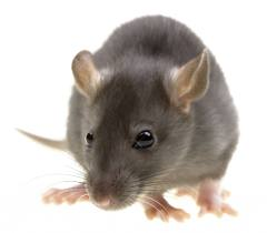 Rat Infestations and Control