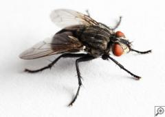 Flies Extermination