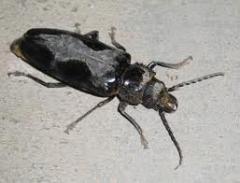 Palo Verde Beetle Control