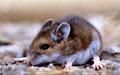 Deer Mouse Solutions