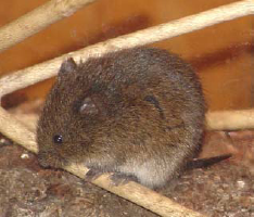 Meadow Vole Solutions