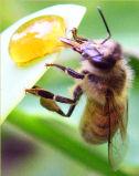 Honey Bee Solutions