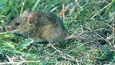 House Mouse Extermination