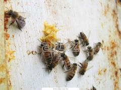 Africanized Honeybee Control