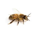 Africanized Honey Bee Control