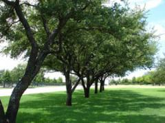 Commercial Tree Care, Pruning and Maintenance