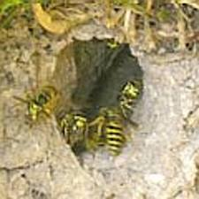 Wasps extermination