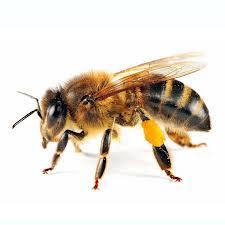 Honey Bee Exterminaion