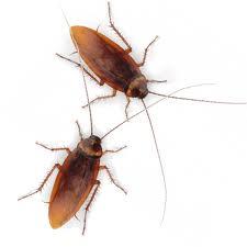 Cockroaches Extermination