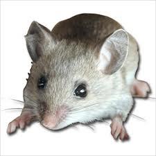 Rodents Extermination
