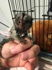 Little Sweet Marmoset Monkey .