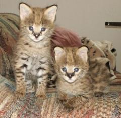 Lovely golden male F1 savannah kitten for sale.