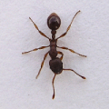 Pavement Ants Control
