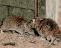 Norway Rat Control