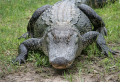 Alligator by Airboat & Nature Walk Tour