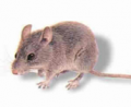 Rodent Extermination & Removal
