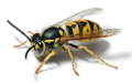 Bees, Hornets & Wasp Removal & Extermination