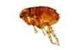 Flea Exterminators